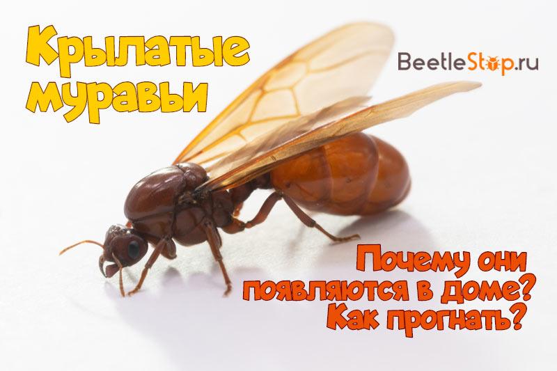 Qui sont les fourmis volantes?