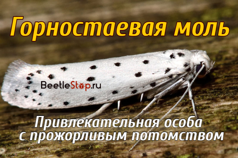 Papillon hermine