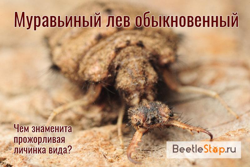 Larve de fourmi lion