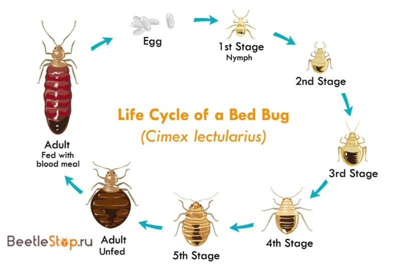 cycle de développement du lit